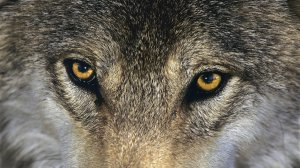 wolf_eyes_by_gyminsky-d5f83g9